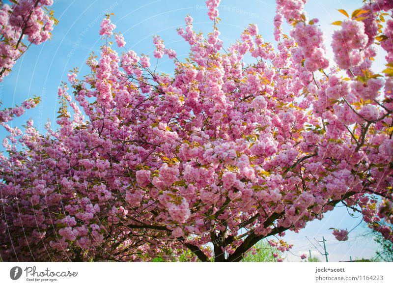 Kraft der Kirschblüte schön Leben Wärme Blüte Frühling natürlich Glück rosa frisch Wachstum ästhetisch groß Beginn Blühend Vergänglichkeit einzigartig