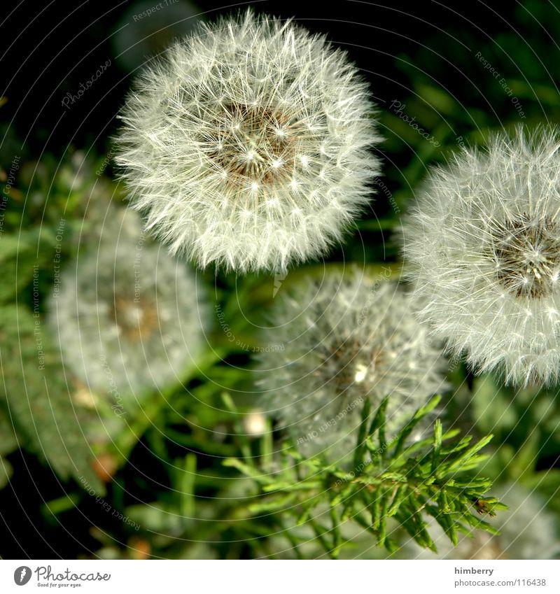 pusteblumencase Löwenzahn Blume Natur Wildpflanze Gras Sommer Herbst Park Pflanze Samen