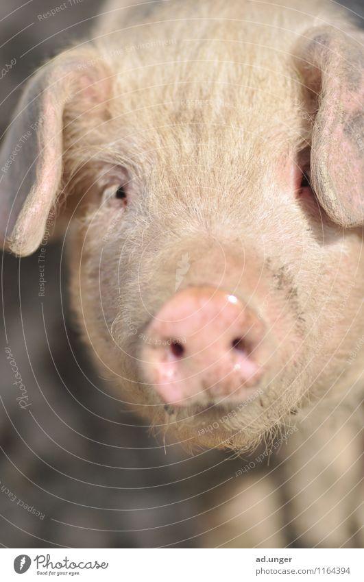 Deine Augen ... Natur Landschaft Tier Nutztier 1 Blick Schwein Schweinefleisch niedlich Farbfoto Außenaufnahme Menschenleer Tierporträt