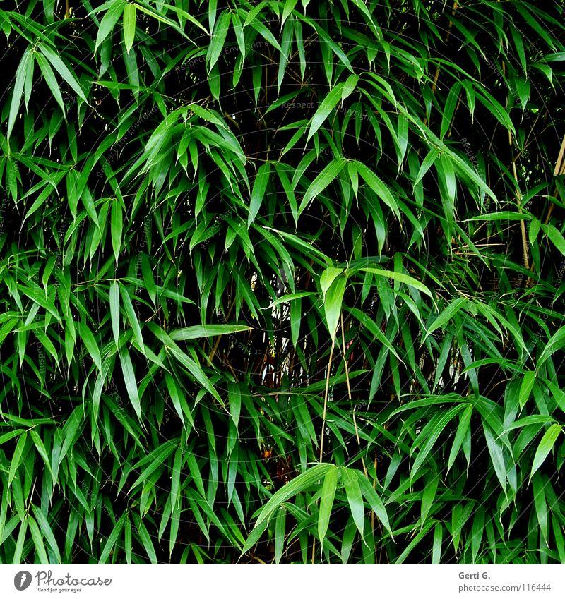 bamboo Pflanze Lebensmittel Ernährung Material Gartenkunst Naturprodukt Rohstoffe & Kraftstoffe Wachstum bewachsen grün winterfest Botanik bamboo-garden