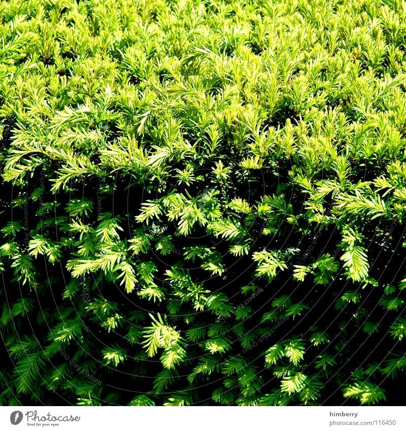 heckencase Sträucher Hecke Pflanze grün Park Frühling Natur Schatten Tannennadel
