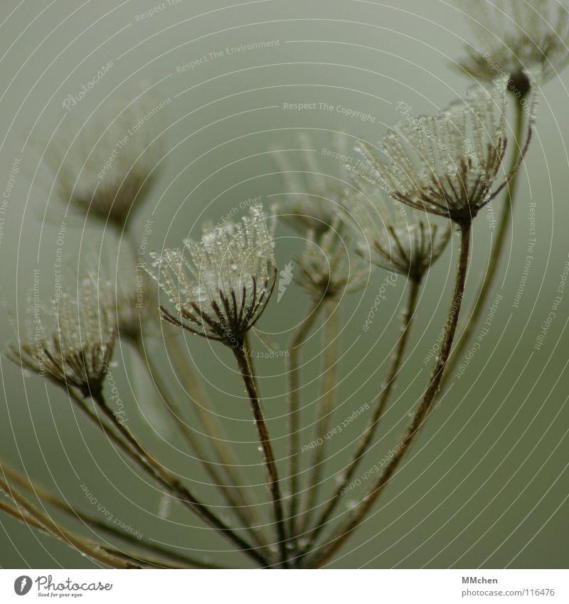 Eisprinzessin Pflanze Herbst Winter Schnellzug Nebel Doldenblüte hauchen Morgen Morgennebel grün schlechtes Wetter gefroren Raureif Überleben überwintern