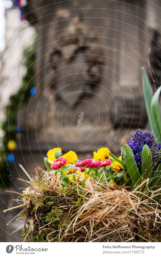 Osterblumenpracht Natur Pflanze Blume Grünpflanze Denkmal Idylle Bautzen Europa Sachsen Brunnen Frühblüher Wappen Tiefenschärfe mehrfarbig Farbfoto