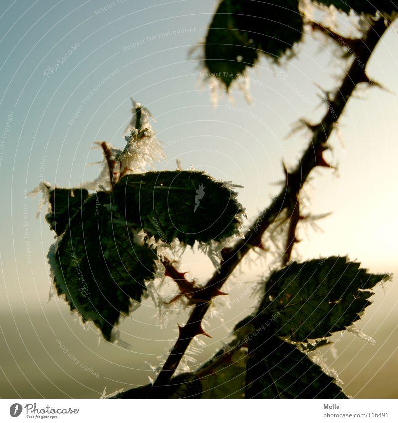Eisdornen Himmel weiß grün blau Pflanze Winter Blatt kalt Schnee Ast diagonal Zweig Kristallstrukturen einzeln Raureif
