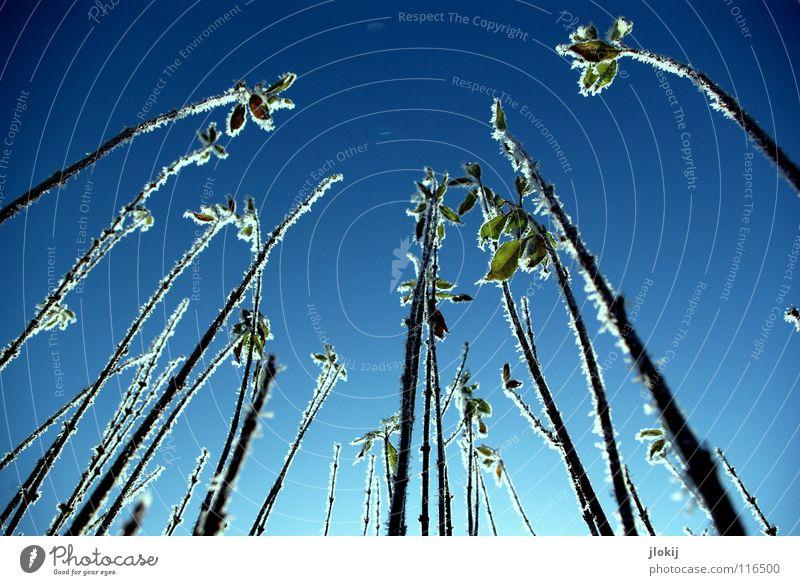 Himmelwärts II Winter Jahreszeiten Eis kalt grün Schnellzug Natur Raureif Pflanze Wachstum erfrieren gefroren Wiese Froschperspektive Frost cold season plants