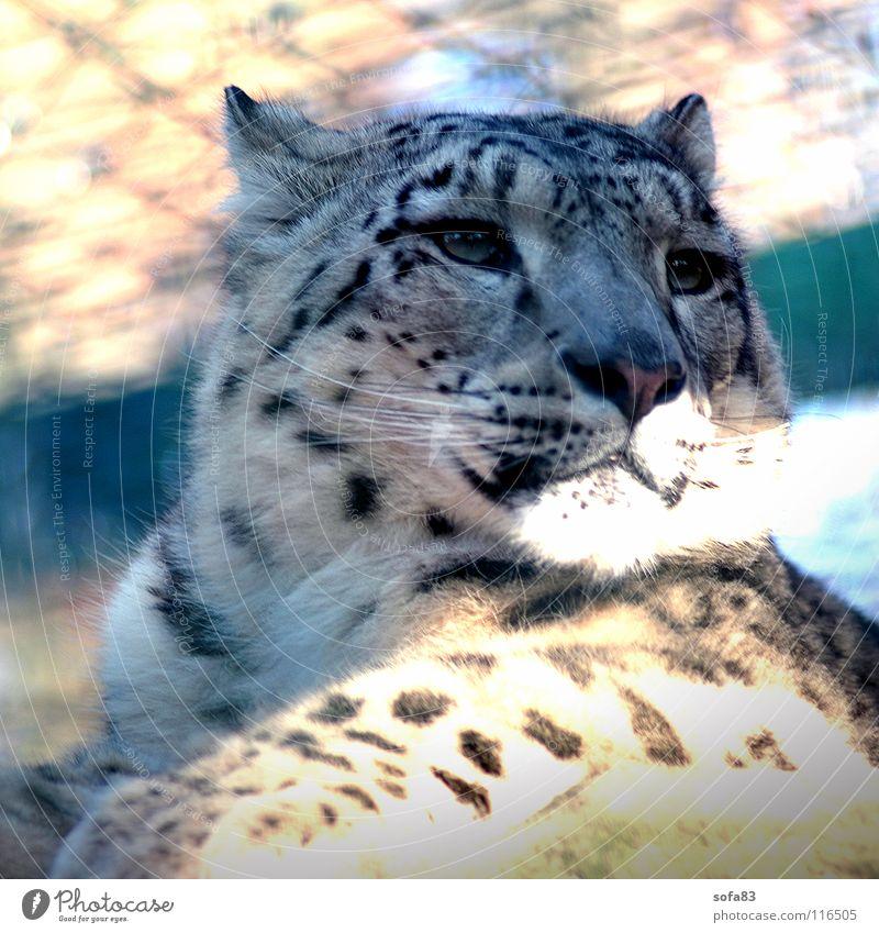 schneeleo1 Schneeleopard Leopard Katze Raubkatze Wildkatze Käfig Langeweile Tier Zoo Tiergarten Säugetier Wildtier Interesse portait portät Einsamkeit