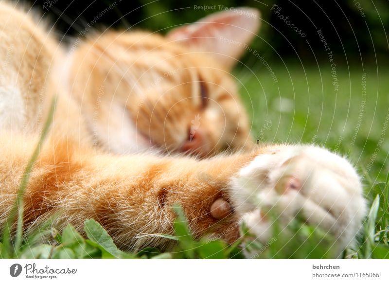 katzenviech Katze Natur Pflanze Sommer Erholung Tier Frühling Wiese Gras Garten Park liegen genießen Schönes Wetter schlafen Pause