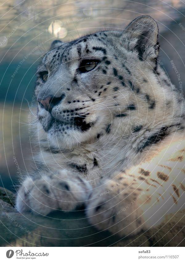 schneeleo2 Schneeleopard Leopard Katze Raubkatze Zoo Tiergarten Langeweile Blick Konzentration Säugetier Wildtier Einsamkeit portait portät