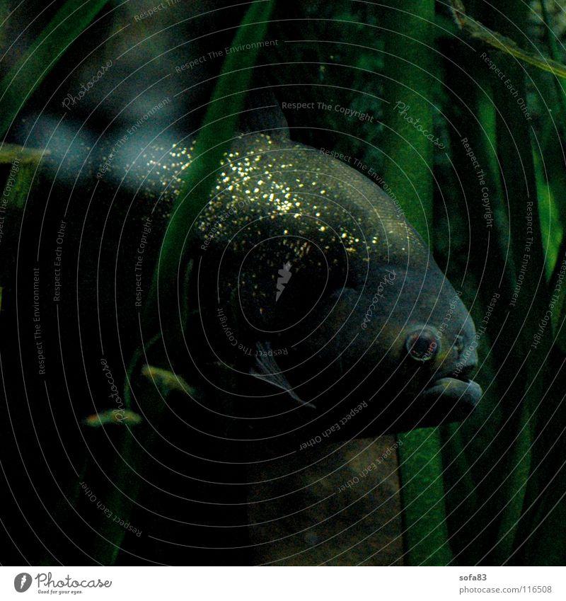 gut versteckt? Wasser grün gold Fisch geheimnisvoll verstecken Aquarium Versteck