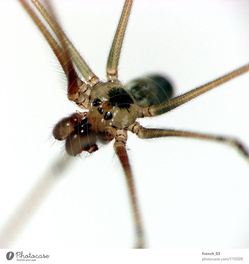 roommate Spinne Beine Raum Wohnung Kieferklaue Spinnennetz Spinngewebe Wand Angst faszinierend Ekel hässlich schön Paddel frontal grau braun weiß schwarz