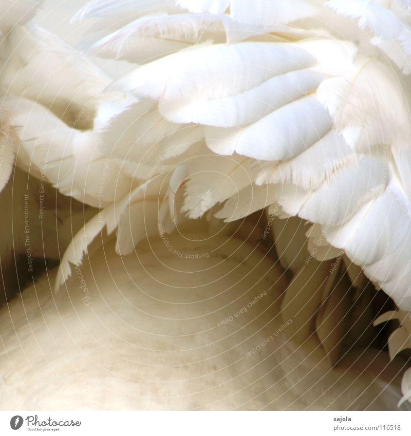 dem schwan... schön weiß Tier Vogel elegant Perspektive ästhetisch weich Feder Flügel Wildtier Anordnung kuschlig Schwan Daunen
