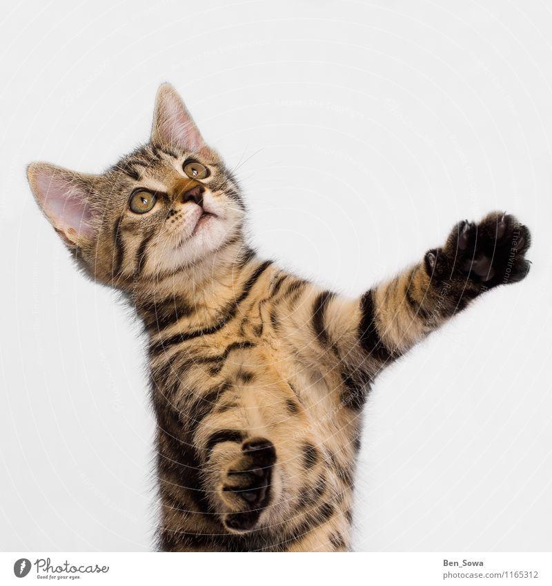 Gestreifte Katze Tier Haustier Katzenbaby 1 fangen Jagd kämpfen klug braun gelb gold Begeisterung Kraft Willensstärke Tierliebe Farbfoto Studioaufnahme