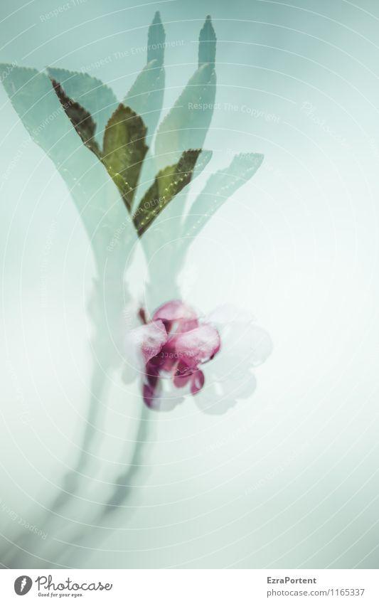 Pfirsichdoppel Umwelt Natur Pflanze Himmel Frühling Klima Baum Blume Blatt Blüte Nutzpflanze Garten natürlich verrückt blau grün rosa Begeisterung Optimismus