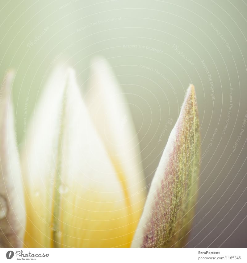 aus Umwelt Natur Pflanze Wassertropfen Frühling Blume Tulpe Blüte Grünpflanze Wildpflanze Garten Park Wiese Blühend ästhetisch hell natürlich schön gelb grau