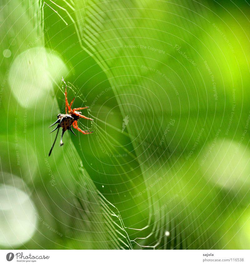 horned spider in the web Tier Urwald Spinne 1 Netz warten Ekel stachelig gelb grün rot Horn Punkt Spinnennetz Kreis filigran Spirale Speichen Borneo Asien