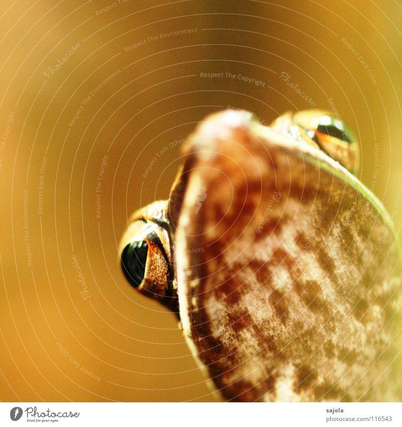 cricket frog Natur Tier Urwald Wildtier Frosch Tiergesicht 1 exotisch schleimig braun Froschlurche Auge Schnauze Maul Lurch Amphibie Unterleib Borneo