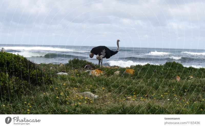 Strauß am Kap Natur Pflanze grün Tier Küste grau Wildtier