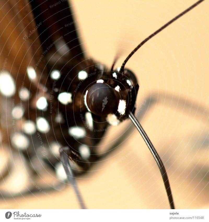 magpie crow Tier Urwald Schmetterling Tiergesicht 1 ästhetisch exotisch schwarz weiß Vergänglichkeit Fühler Auge Facettenauge Rüssel Zunge Punkt gepunktet Beine