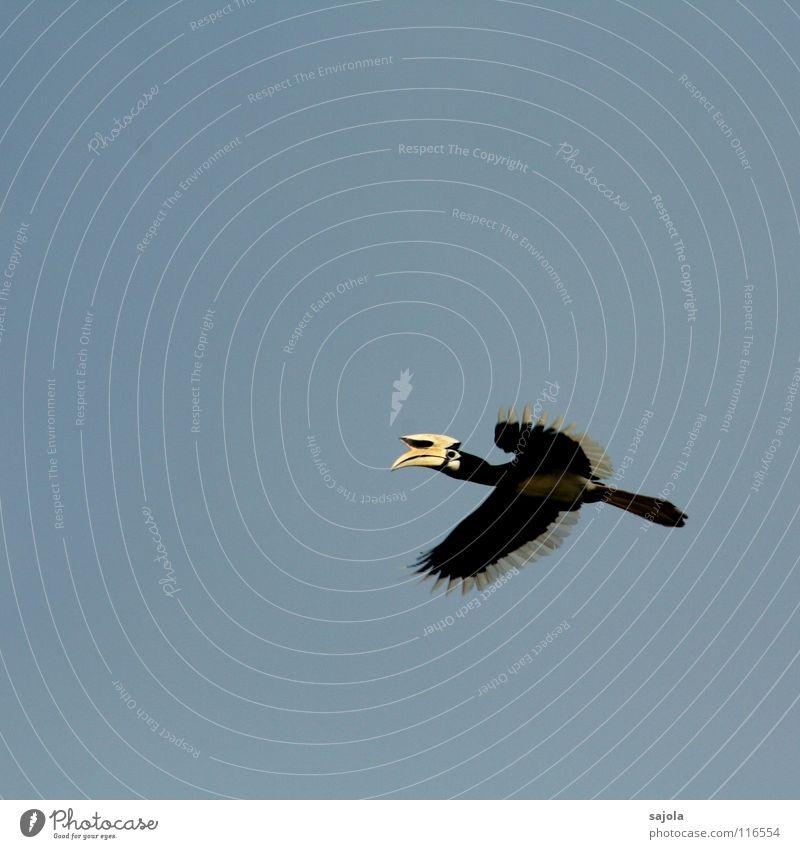 flying hornbill Freiheit Natur Tier Urwald Wildtier Vogel Flügel 1 fliegen frei gelb schwarz weiß Nashornvögel Naher und Mittlerer Osten fliegend Schnabel Feder