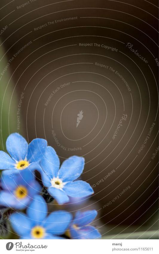 Vergißmeinnicht im linken unteren Eck Blühend Blüte Leben harmonisch ruhig Frühling Sommer Pflanze Blume Wildpflanze Duft dunkel frisch blau Frühlingsgefühle