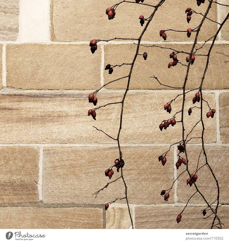 hagebuttenröschen Natur Pflanze rot Einsamkeit Haus Winter Wand Architektur Herbst Mauer Garten Stein hell Park Raum Wachstum