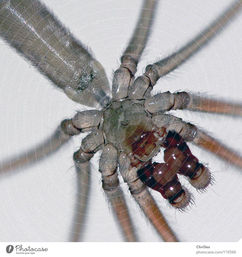Zitterspinne, Pholcus phalangioides_02 Tier Angst maskulin Insekt Ekel Panik Spinne Nordwalde Gliederfüßer Leuchttisch Baldachin