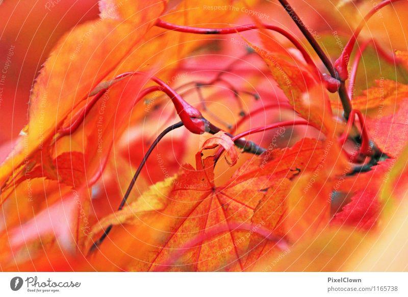 Indian summer Natur Ferien & Urlaub & Reisen Pflanze schön rot Blatt Tier Wald Herbst natürlich Stil Holz Garten Park orange Wachstum