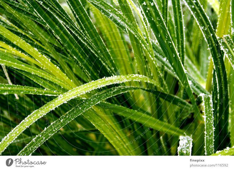 Chlorophyll auf Eis grün Halm Gras gefroren Wiese kalt Winter frieren Herbst Eiskristall Raureif Minusgrade Morgen Eisblumen Stengel Sträucher glänzend weiß