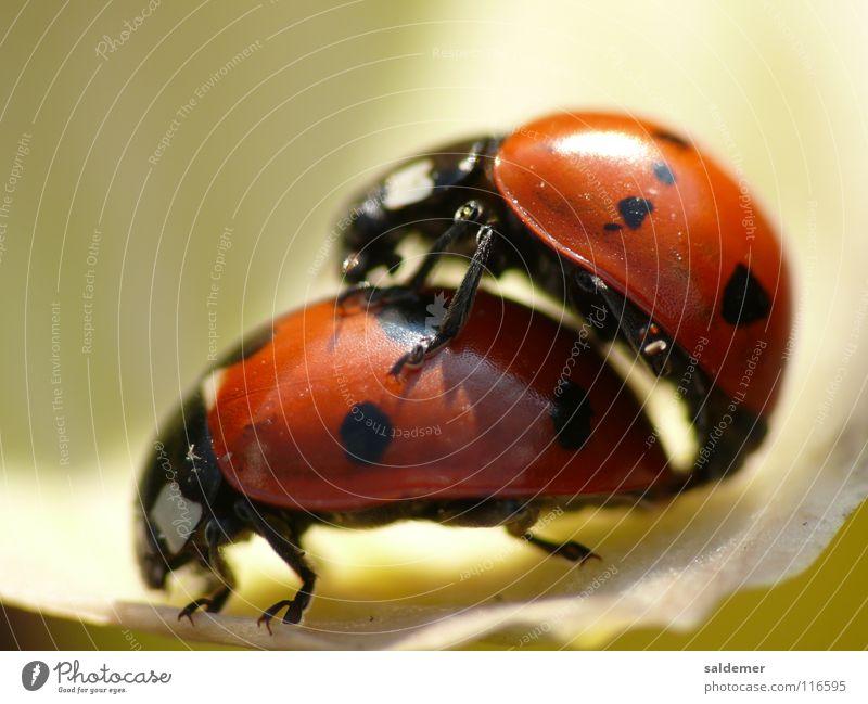 Marienkäfer Liebe Fortpflanzung rot Tier Makroaufnahme Nahaufnahme orange natur Leben Käfer Punkt