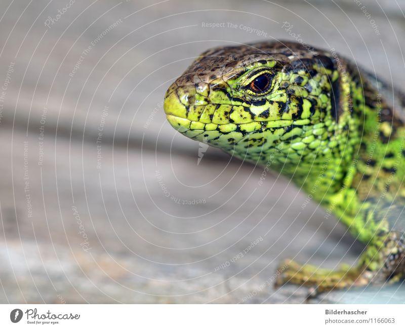 Neugierig Zauneidechse Echte Eidechsen Echsen Reptil Mähne Tier grün unbeständig Sonnenbad Nahaufnahme Fortpflanzung Horn Schuppen Tierhaut Tierporträt Auge