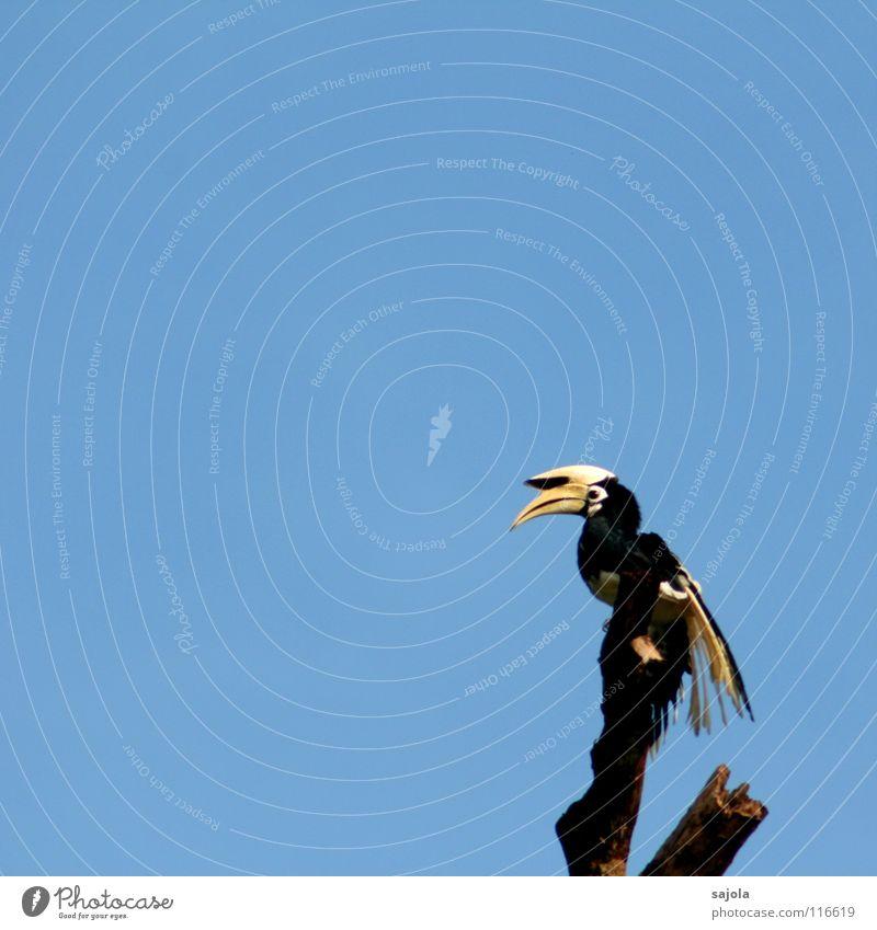 gefieder trocknen Freiheit Natur Tier Himmel Urwald Wildtier Vogel 1 frei blau gelb schwarz weiß Pause Nashornvögel Schnabel Feder Auge Schwanz Borneo Asien