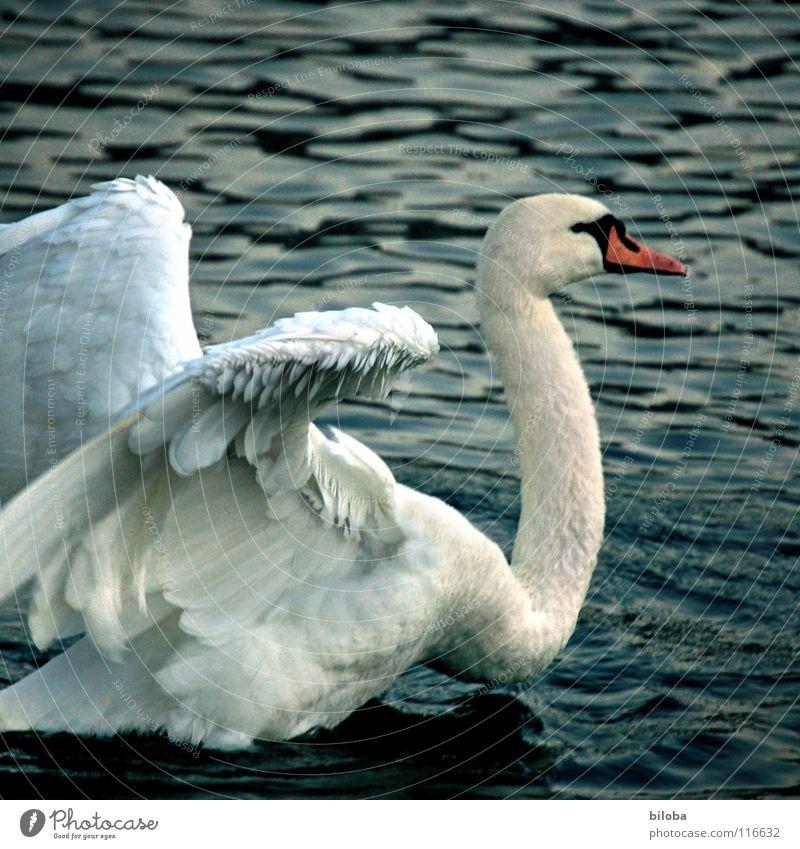 Schau mal her, kleiner! Wasser weiß Tier See Vogel Kraft Kraft Feder weich Fluss Wut Jagd kämpfen Schwan tierisch anstrengen