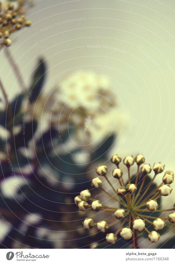 Guckuck! Umwelt Natur Pflanze Frühling Sommer Sträucher Blatt Blüte Wildpflanze Holunderbusch Holunderblüte Holunderblatt Wiese Feld Dekoration & Verzierung