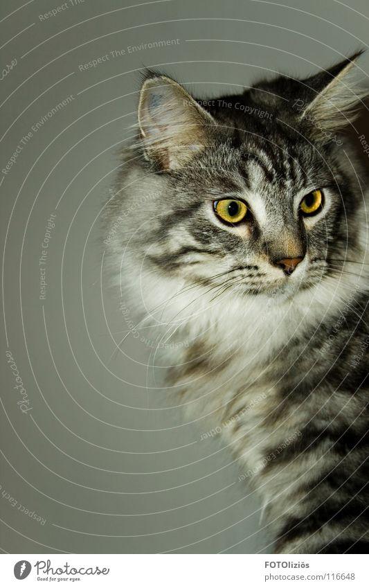 Das ist Stuart! weiß schwarz Auge Tier gelb grau Katze Streifen Fell frech Krallen Miau eigenwillig Katzenklo