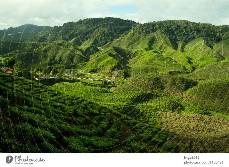 Cameron Highlands Tee Natur Landschaft Pflanze Sonnenlicht Sommer Schönes Wetter Grünpflanze Nutzpflanze Feld Urwald Hügel Wachstum grün Teepflanze Malaysia