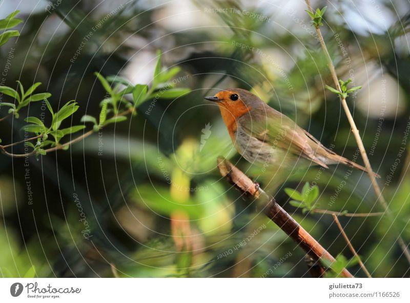 Hinterm Zaun versteckt Umwelt Natur Frühling Schönes Wetter Sträucher Garten Tier Wildtier Vogel Singvögel Rotkehlchen 1 beobachten natürlich Neugier grün