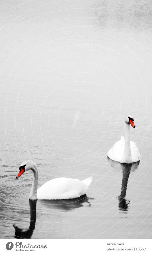 Zweisamkeit Vogel See Herbst schwarz weiß rot grau Gefühle Reflexion & Spiegelung Zuneigung Außenaufnahme Liebe ruhig Wasservogel Schatten schön Anmut Kontrast