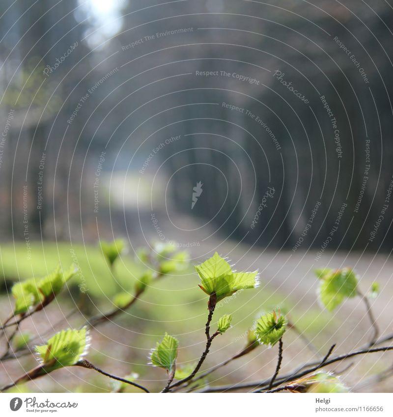 frisches Grün... Natur Pflanze schön grün Baum Einsamkeit Blatt Landschaft ruhig Wald Umwelt Leben Frühling natürlich Wege & Pfade grau