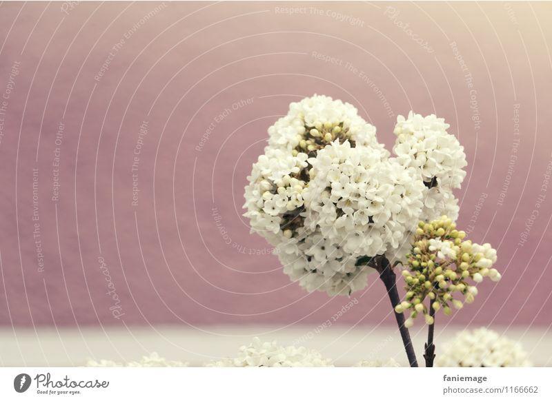 weiß gestreift Pflanze Schönes Wetter Duft schön Frühlingsgefühle Frühlingsfarbe Frühlingstag Fliederbusch Streifen rosa Sonnenstrahlen Sonnenlicht hell