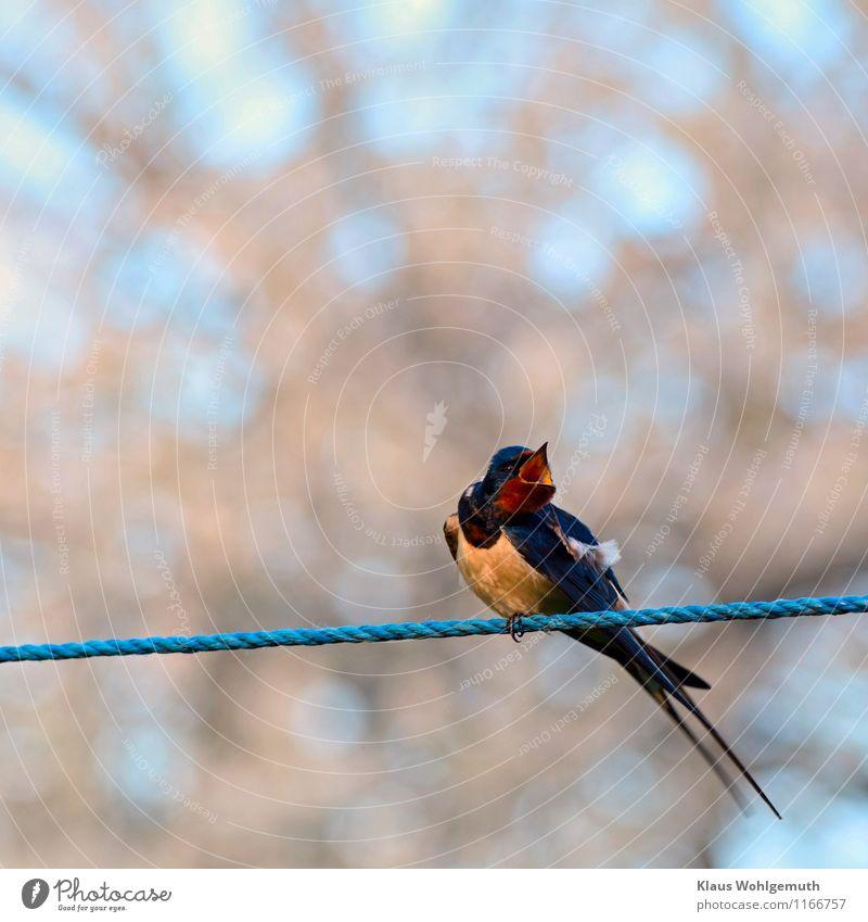 Balanceakt Umwelt Natur Tier Frühling Garten Dorf Wildtier Vogel Tiergesicht Flügel Schwalben Rauchschwalbe 1 fliegen schaukeln sitzen exotisch blau braun