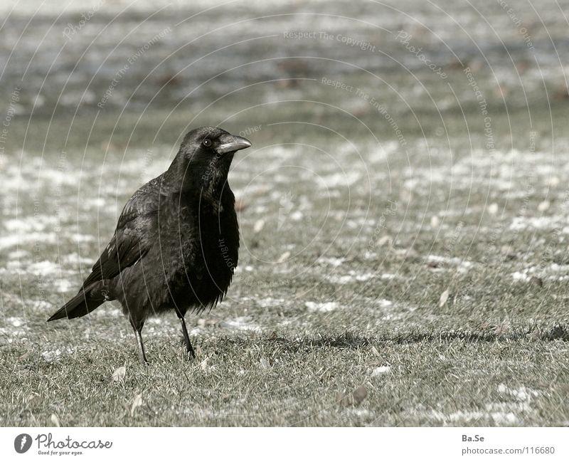 ...was entdeckt? schwarz Tier Gras Park Landschaft Vogel Deutschland Stuttgart Rabenvögel