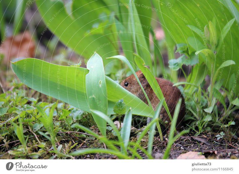 Mäuschen, Mäuschen komm heraus! Umwelt Natur Tier Erde Frühling Sommer Herbst Pflanze Gras Blatt Grünpflanze Garten Park Wiese Wildtier Maus Fell Waldmaus