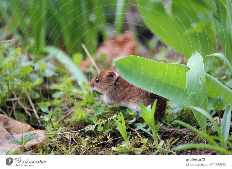 Ich seh' dich, Mäuschen! grün Blatt Tier Glück Garten braun Erde Wildtier Geschwindigkeit beobachten niedlich Risiko Appetit & Hunger Kontrolle Fressen Beet