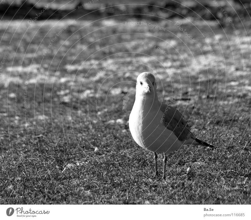 Nanu? Möwe Tier Vogel Stuttgart Park weiß Gras Außenaufnahme Porträt Deutschland Landschaft