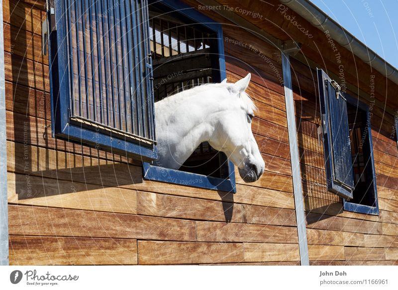 White Beauty Lifestyle elegant Freizeit & Hobby Reiten Abenteuer Sport Reitsport Tier Haustier Nutztier Pferd 1 stehen Traurigkeit blond Coolness schön weiß