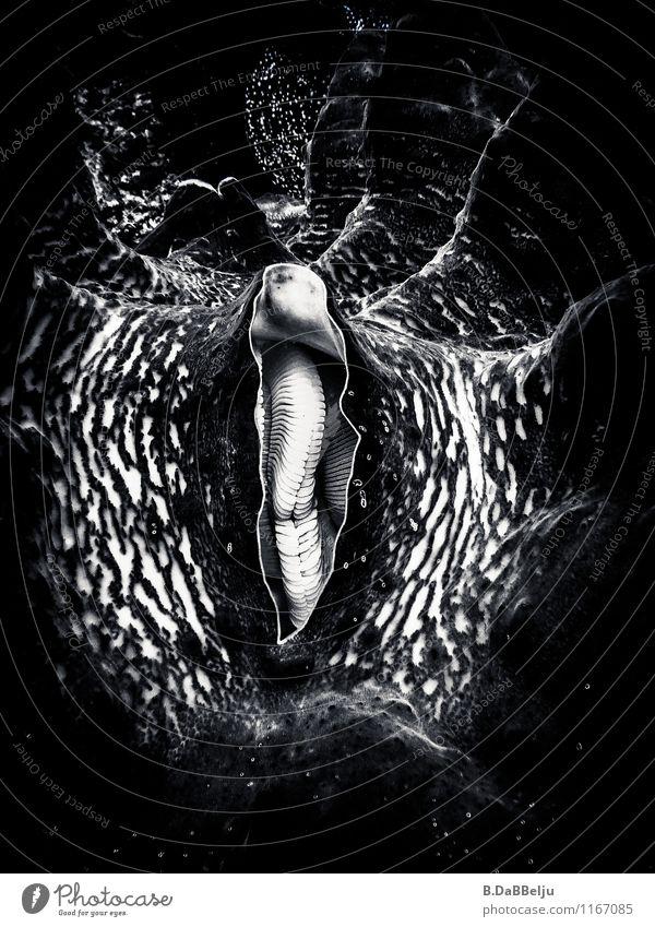 Mantel der Tridacna gigas exotisch Ferien & Urlaub & Reisen Ferne Meer tauchen Wasser Tier Muschel außergewöhnlich gigantisch ästhetisch bizarr Indonesien