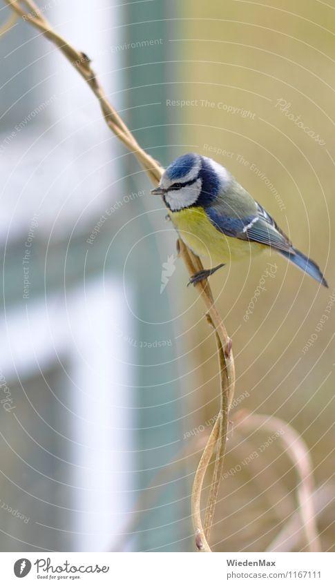 Blaumeise auf Ast Umwelt Natur Frühling Sommer Herbst Schönes Wetter Zweig Garten Park Einfamilienhaus Tier Vogel 1 beobachten entdecken sitzen außergewöhnlich
