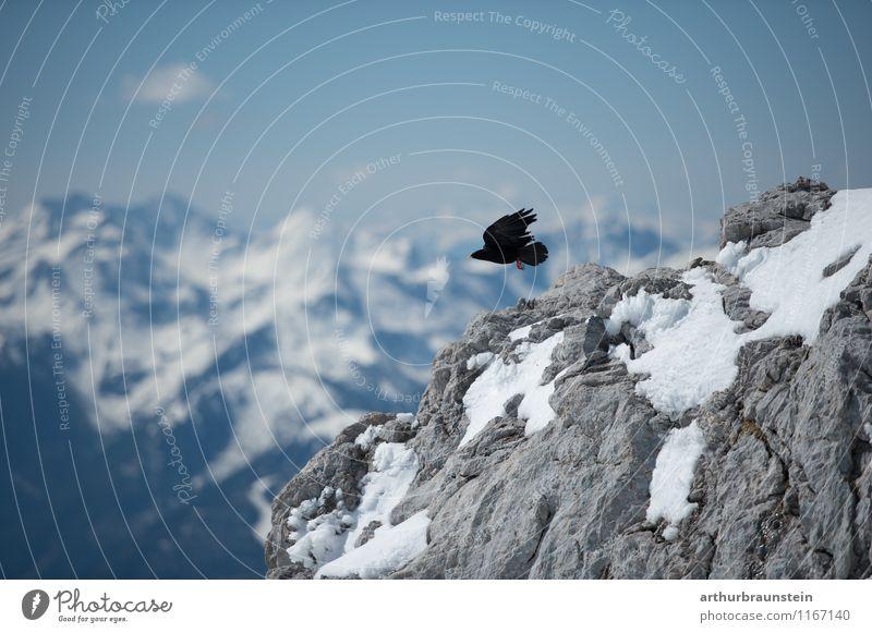 Alpendohle fliegt vom Berg Himmel Natur Ferien & Urlaub & Reisen Landschaft Wolken Tier Winter Umwelt Berge u. Gebirge Schnee Freiheit Vogel Felsen Freizeit & Hobby Tourismus Wildtier