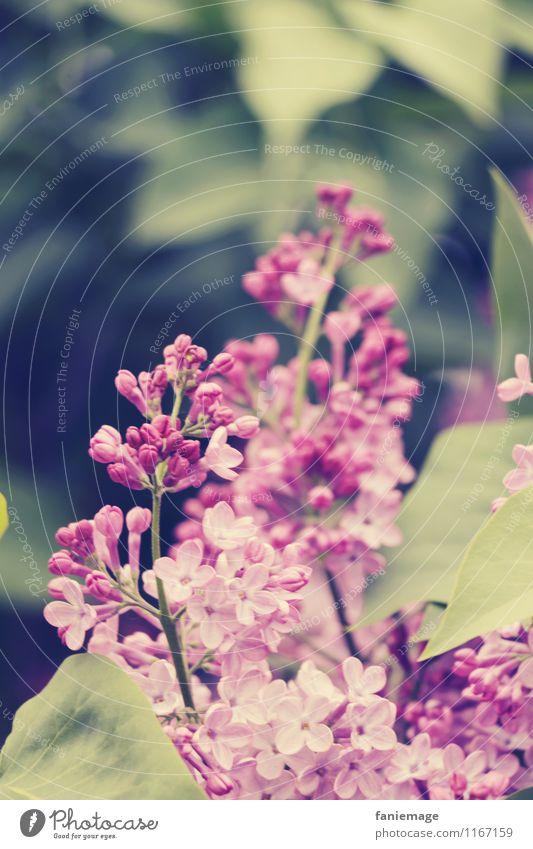 Flieder Umwelt Natur Pflanze Blatt Blüte Garten Park Duft schön Fliederbusch rosa violett Zweige u. Äste dunkelgrün hellgrün Frühlingsgefühle Frühlingstag