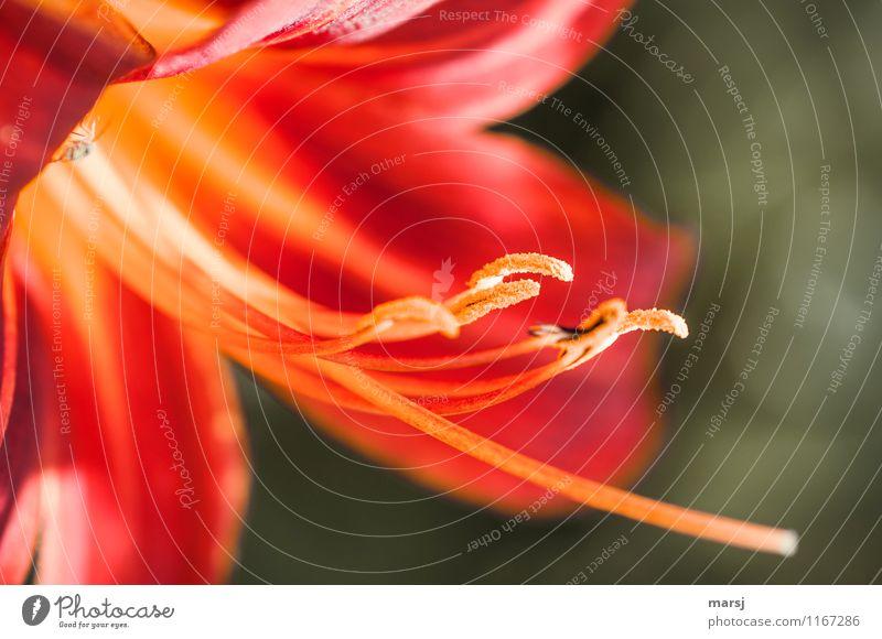 Sogar mit Laus! Pflanze Frühling Sommer Blume Blüte Nutzpflanze Taglilie Staubfäden Blühend nah natürlich mehrfarbig rot Lebensfreude Frühlingsgefühle schön